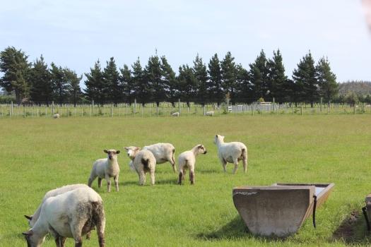NZ Sheep Farm